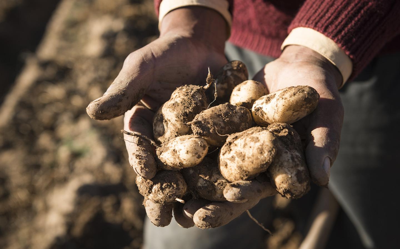 on Kartoffeln und Klimawandel