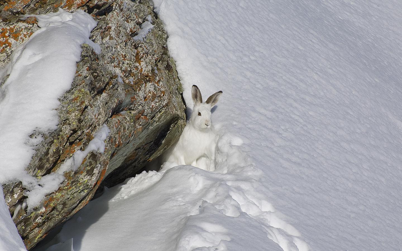 er Schneehase – ein Überleb