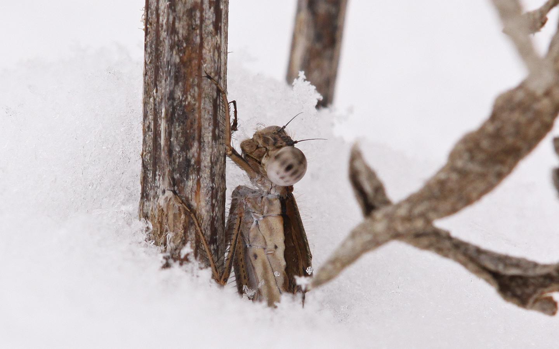 rostspanner und Winterlibelle