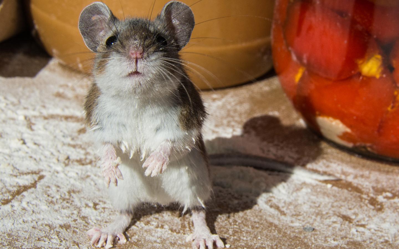 on Mäusen und Menschen