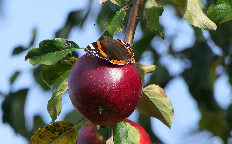on der Vielfalt der Äpfel