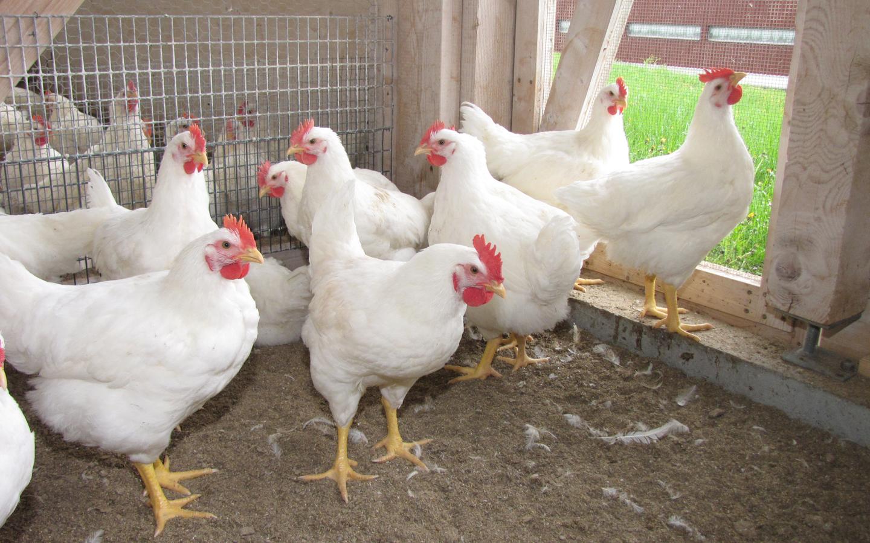 BGESAGT! Das Zweinutzungs-Huhn
